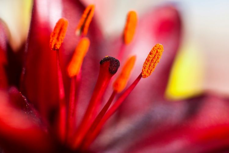 🌺 Red Flower Plant Close-up Nature Growth Beauty In Nature Day Fragility Flower Head No People Freshness Beauty Outdoors Stamen Detailed Colors Bright Pink Red Orange Pollen Flowerporn Beauty In Nature Open Flower Summer Mother Nature