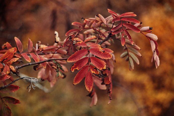 Fall Leaf Niklas Storm Okt 2018 Red Autumn Close-up Leaves