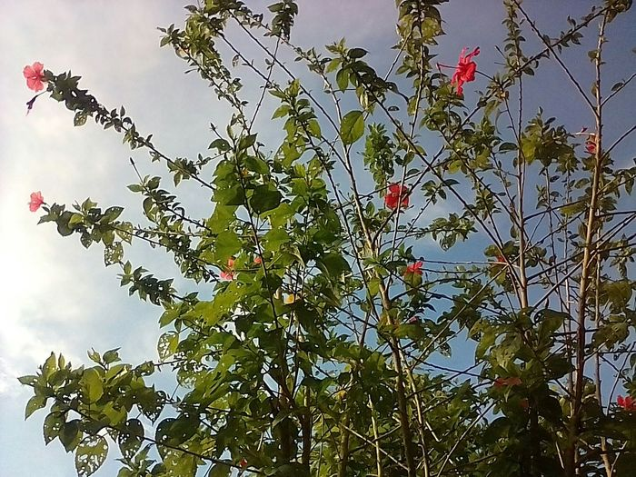 Looking high up the gumamela Nature Branch OutdoorsTree Green Color Sky No People Day Low Angle View Flower Beauty In Nature Growth Leaf Freshness