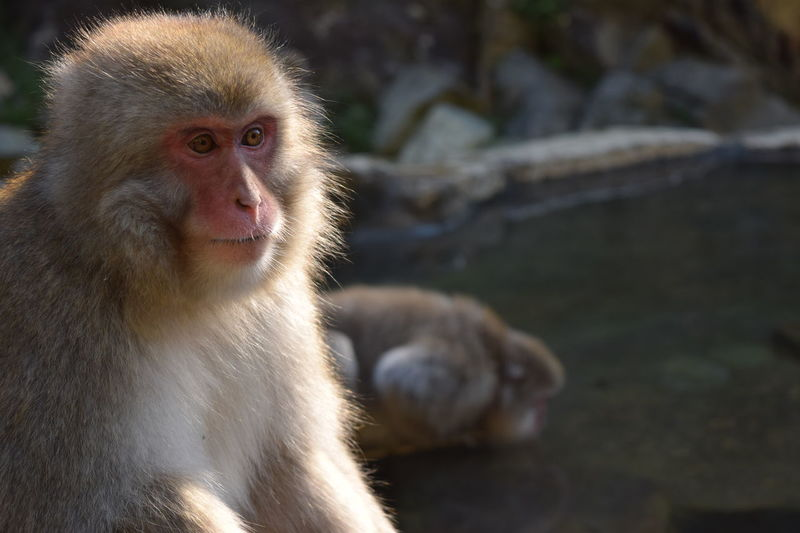 Japanese macaque lost in his own thoughts Concentration Nagano Prefecture,Japan Animals In The Wild Japan Onsen Reflexiones Almost Human Animal Head  Animal Themes Animal Wildlife Animals In The Wild Close-up Day Focus On Foreground Hot Spring Japanese Macaque Mammal Monkey Monkey Face Nature No People One Animal Outdoors Pensamientos Pensativo  Thinking About Life An Eye For Travel The Portraitist - 2018 EyeEm Awards