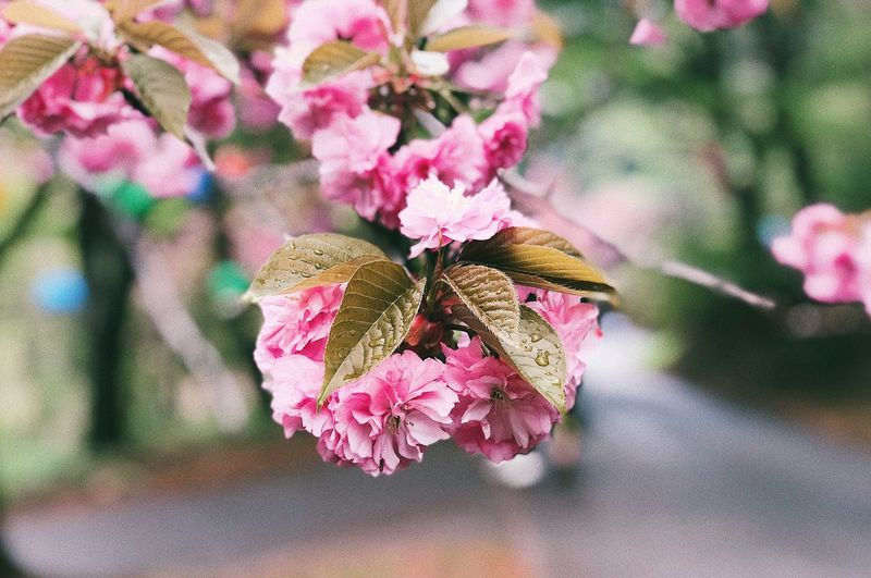 Korea IPhoneography Beauty In Nature Sakura Blossom Sakura Flower Flowering Plant Beauty In Nature Plant Pink Color Vulnerability  Fragility Petal Insect Close-up Flower Head Freshness No People Nature