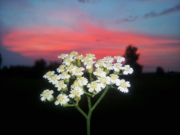 Flower Growth Fragility Nature Flower Head Plant Beauty In Nature No People Freshness Petal Sunset Outdoors Close-up Sky Rural Scene Day
