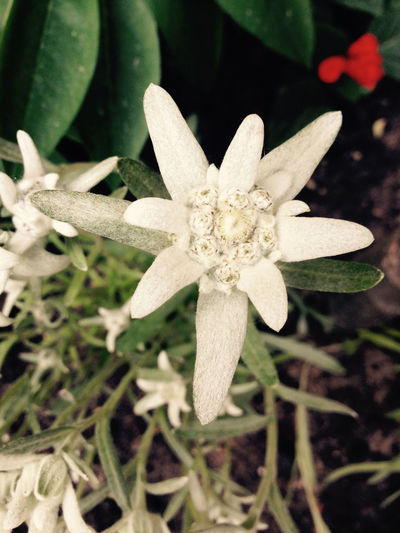 Botany Close-up Edelweiss Flower Fragility Leontopodium Alpinum Plant White White Color
