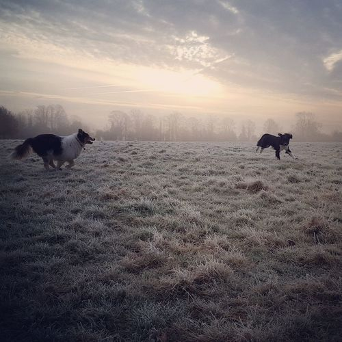 Dogs on field against sky during sunset
