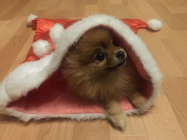 Cute Pomeranian Dog In The Bag Spitz Pomeranian Dog Pomeranian Cute Pets Cute Pomeranian Christmas Present Christmastime One Animal Domestic Pets Animal Themes Mammal Animal Domestic Animals Canine High Angle View Dog Indoors  Small Vertebrate No People Lap Dog Santa Hat Christmas Relaxation Holiday Celebration