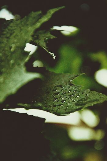 Rain ♥ Grape Vine Foliage Leaves Lea <3
