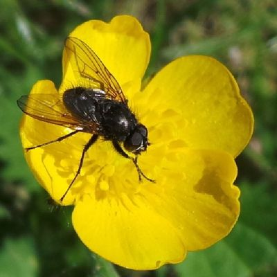 Fly in butter...cup. Stockport Nature Igersmcr