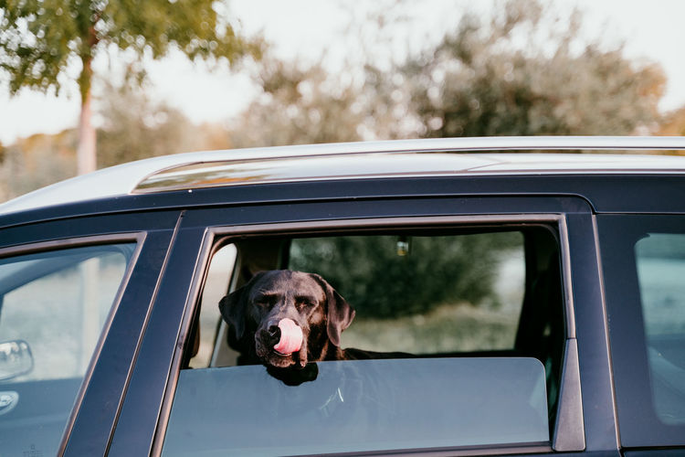Portrait of dog in car