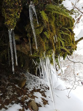 Ice stalactites and Polypodium vulgare Water Nature Day Tree Outdoors Winter