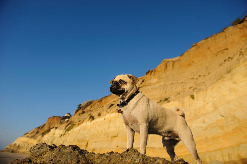 Low Angle View Of Pug Standing On Rock Against Clear Blue Sky