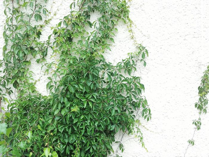 Leaves White Wall