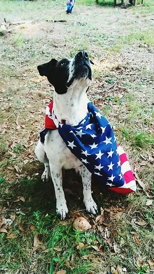american superDog da-ta-daaa!!! Stars N Stripes American Flag American Spirit American Home American Life American Dream American Beauty American Kid  Patrioticheart Patriotic Spirit Dog Pets Animal Themes Domestic Animals Mammal One Animal Day Go Higher Stories From The City Inner Power 10 The Troublemakers