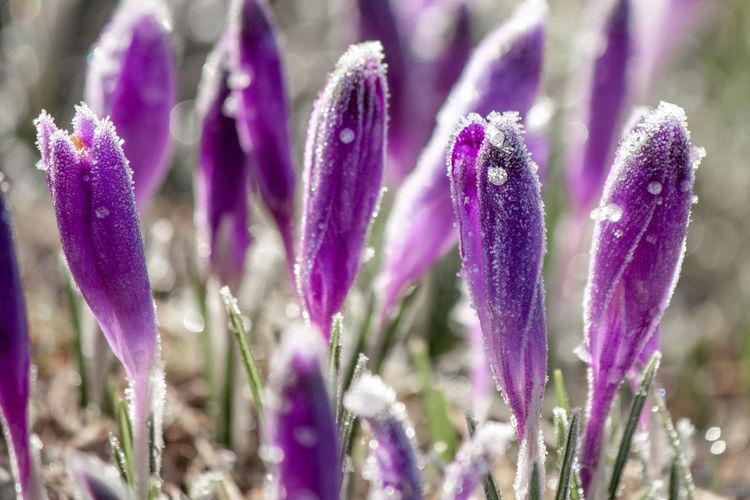 Close-up of purple crocus flowers on field