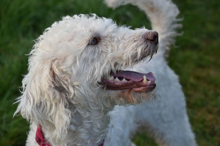 Close-up of dog sticking out tongue outdoors