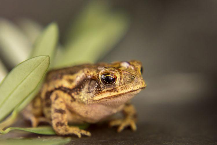 Close-up leopard frog lithobates berlandieri