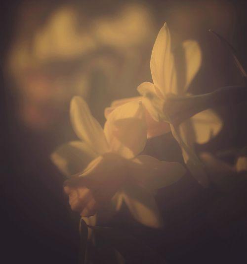 Flower Fragility Beauty In Nature Flower Head No People Close-up Eveningsun Springflowers Narzisse Narsissus Narsis Transparent Backlit Fragile Beauty Sunlit Re-edited Re-edit/re-post Alrernative
