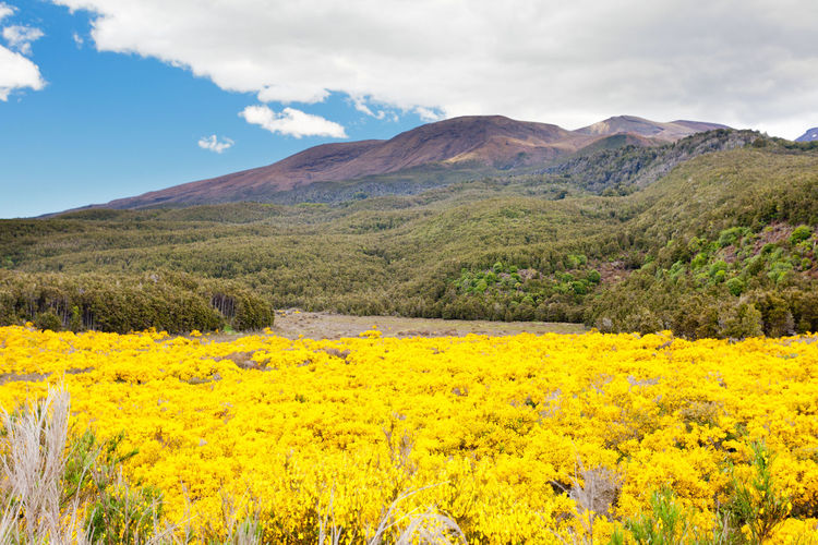 Flowering yellow broom in front of volcanic mountains of the volcano field of Tongariro National Park on North Island of New Zealand Tongariro National Park NZ New Zealand New Zealand Scenery New Zealand Beauty New Zealand Landscape Landscape Volcanic Landscape Blooming Yellow Broom Flowering No People Beauty In Nature Scenics - Nature Tranquil Scene Tranquility Cloud - Sky Sky Plant Mountain Nature Environment Flower Growth Flowering Plant Mountain Range Idyllic