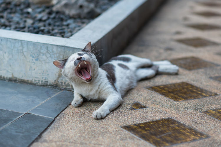 Cat yawning while sitting on footpath