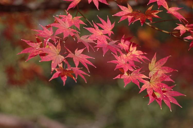 鹿王院 紅葉2016 紅葉 紅葉🍁 Nature Maple Leaf Beauty In Nature Autumn Nature Photography Nature_collection