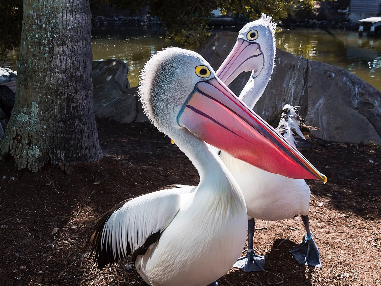 Close-Up Of Pelicans By Lake