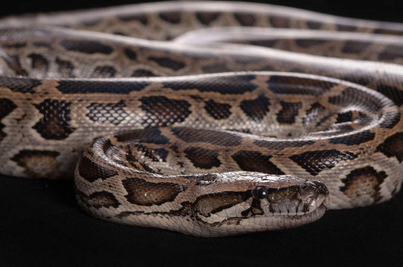 The ball python or python regius, also called royal python
