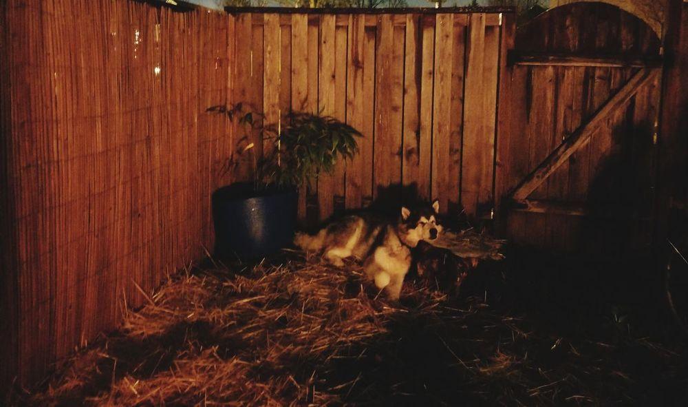 Bamboo Firelight Malamute Malamutelovers Wood - Material No People Night Outdoors Nature Architecture Mammal