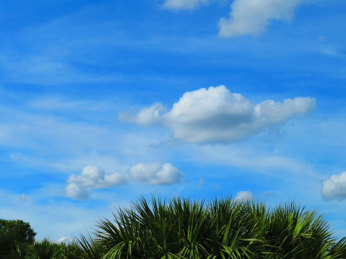 Blue sky and clouds over glades Florida Weather Tropical Trees Blue Sky Tree Blue Forest Palm Tree Social Issues Sky Cloud - Sky Tree Area Treetop Dense Cumulus Cloud Fluffy Meteorology