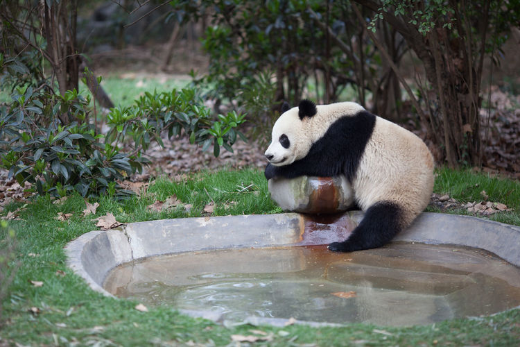 Full length of panda resting by small pond in zoo