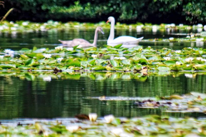 Swans lost amongst the Lilly's. Water Reflection Lake Bird Nature Animals In The Wild Plant Floating On Water Beauty In Nature No People Outdoors Leaf Animal Wildlife Growth Swans Water Lily Scenic Fauna Flora