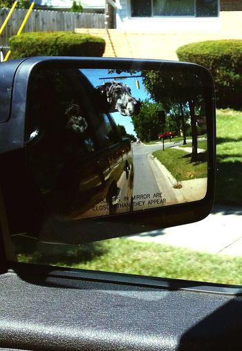 Taking my girl to the vet Transportation Side-view Mirror One Animal Animal Themes Takingpictures Great Dane Vet Trip Doglover Animal Head  Big Dog Going To Vets Out And About Out The Car Window Photography