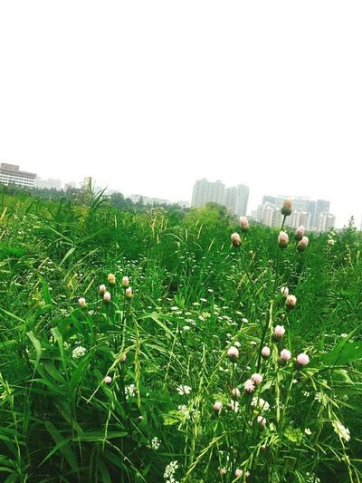 Grass Nature Growth Skyscraper Green Color City Day Sky No People Urban Skyline Outdoors Cityscape Architecture Building Exterior Tree