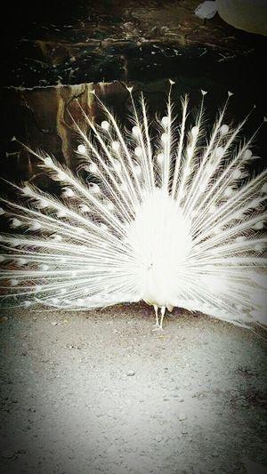 Creative Power Albinopeafowl