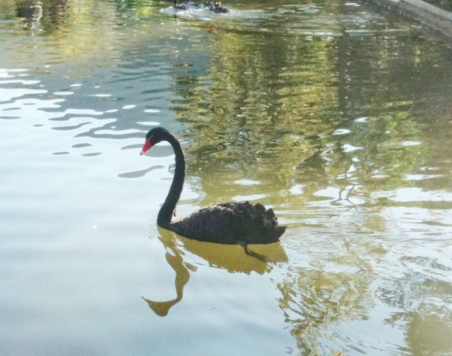 Black Swan Black Swan Swimming Black Swan On Water Black Swan, Large Aquatic Bird, Elegant