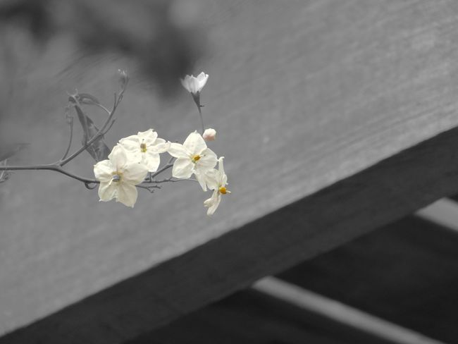 Flower Potato Vine White Color Nature Beauty In Nature Flower Head Wooden Structure Blackandwhite Coulorsplash Minimalism Simplicity In My Garden Black And White