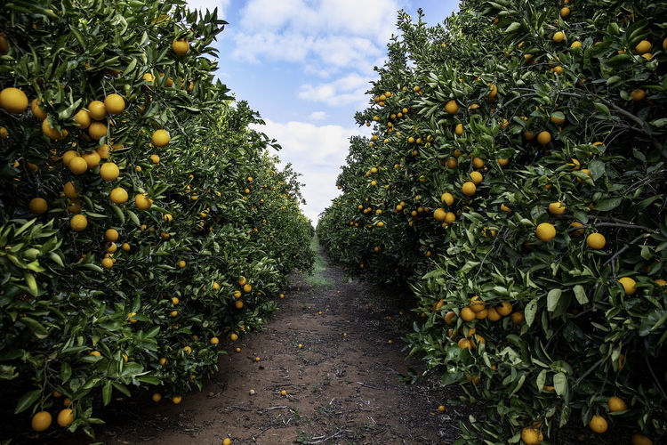 Oranges growing on trees in farm