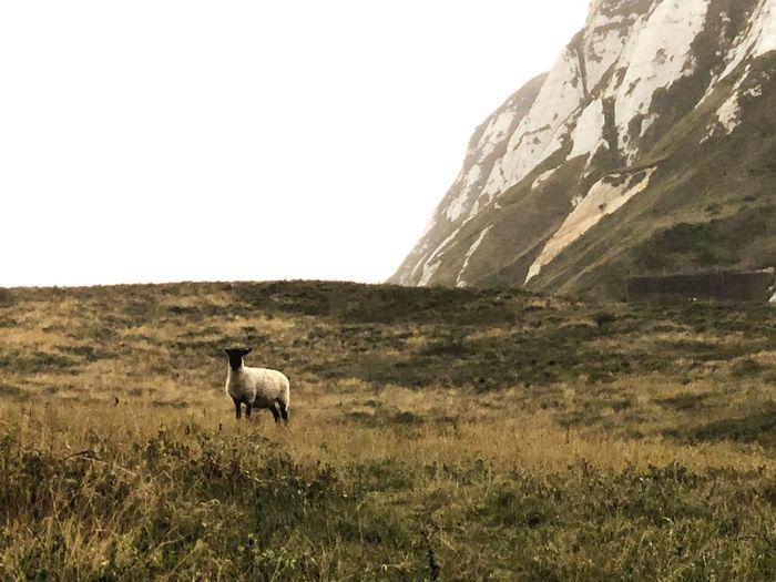 Alone England Sheep Mammal Animal Themes Animal Domestic Animals Grass Pets Domestic One Animal Nature Land Landscape Animal Wildlife Day