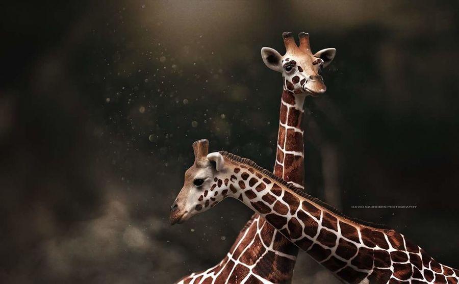 Giraffe Love Wildlife Africa Schleich