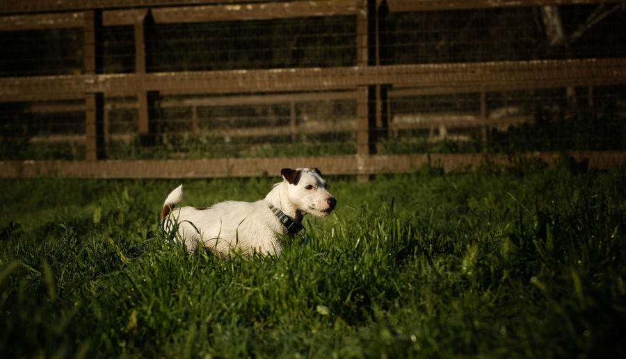 Jack Russell Terrier dog outdoor portrait Farm Jack Russell Jack Russell Terrier Pasture Ranch Ranch Life Animal Animal Themes Canine Day Dog Domestic Animals Field Grass Green Color Land No People One Animal Pets Small Terrier