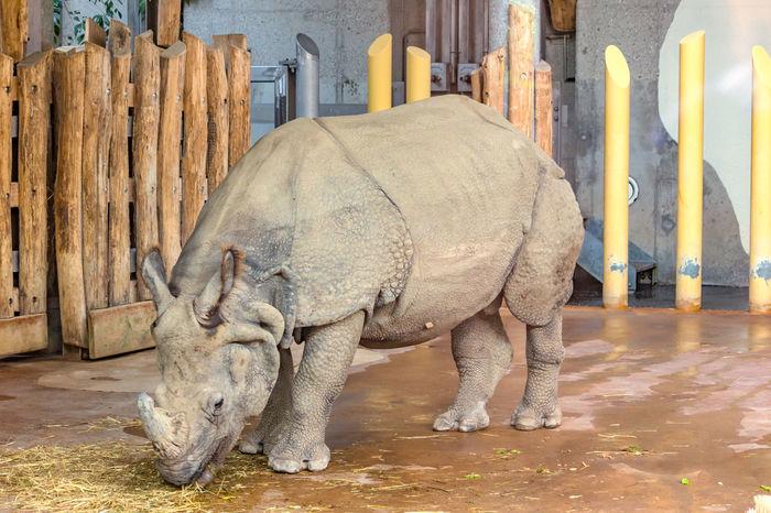 Indian rhinoceros Animal Animal Themes Animal Wildlife Animals Indian Rhinoceros Rhino Rhinoceros Rhinos Safari Safari Animals Wildlife Wildlife & Nature Wildlife Photography Zoo Zoo Animals  Zoo Photography  Zooanimals ZooLife Zoology Zoophotography
