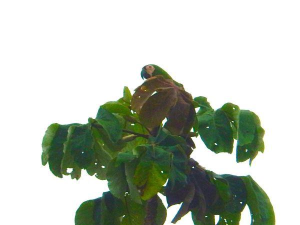 Amazon Parrot Amazon River Amazonas Animals In The Wild Bird Photography Birds Of EyeEm  Blue Bird Tree Trees Amazon Amazon Rainforest Amazonia Bird Birdhouse Birds Forest Green Bird Parrot Parrot Lover Parrots Rainforest Woodpecker Woodpecker In Tree Woodpeckers Yellow Eyes