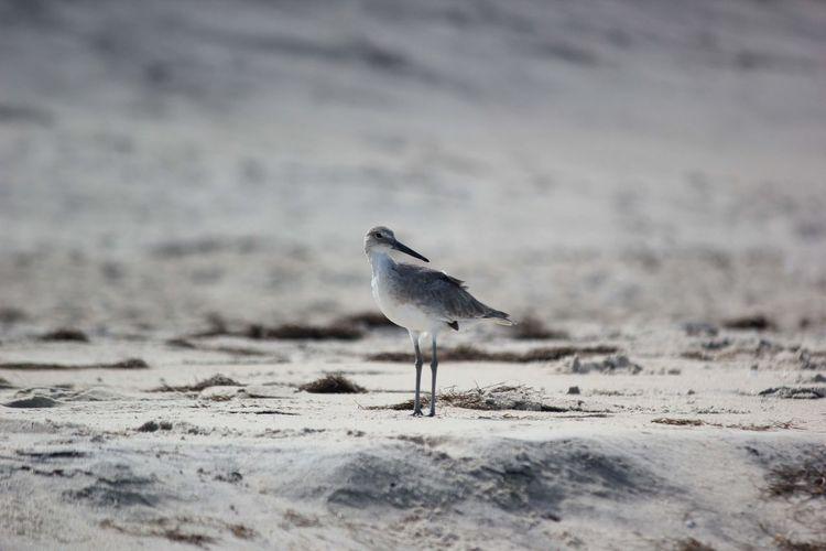 Sanderling Summer Bird Beach Sand Animal Themes Sand Dune Sea Bird Perching Avian Pelican Arid Climate Seagull
