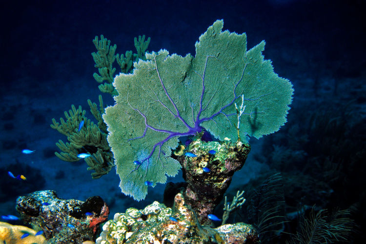 Caribbean Coral Reef Coral by Motorola Cuba Fächerkoralle Karibik Korallenriff Nature Sealife Animals In The Wild Beauty In Nature Caribbean Cayo Largo Coral Fan Coral Fish Fishes Gorgonia No People Ocean Reef Sea Sea Life Tropical Climate UnderSea Underwater Water