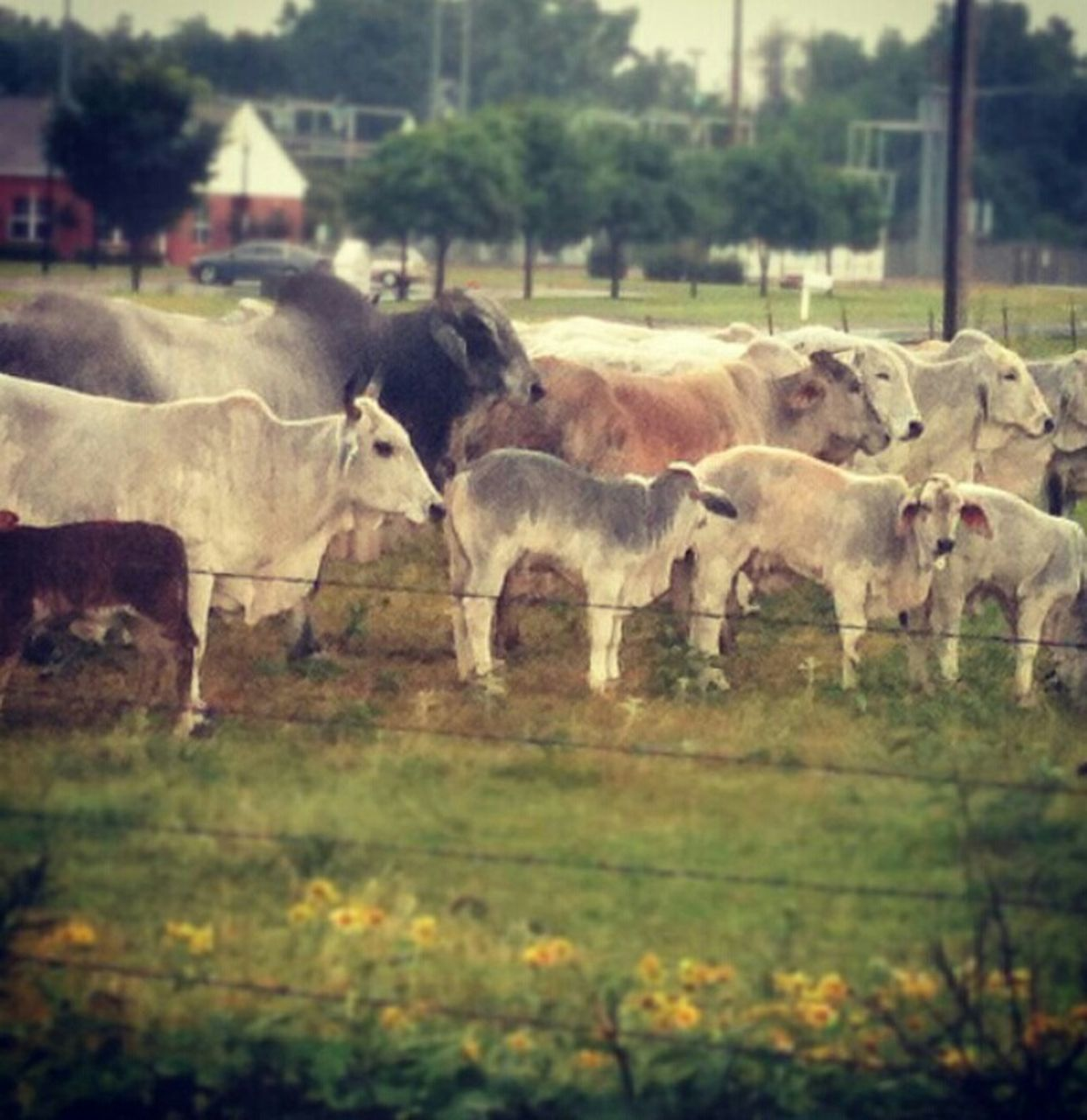 animal themes, field, livestock, mammal, domestic animals, cow, day, grass, no people, nature, outdoors, grazing, standing, tree