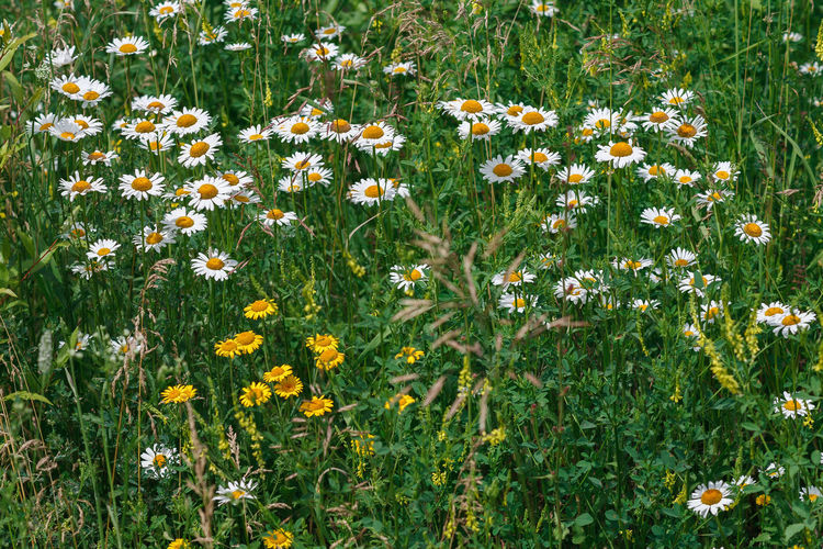 Chamomile Beauty In Nature Chamomiles Field Flower Flower Head Flowering Plant Freshness Grass Green Color Growth Inflorescence Land Matricaria Nature No People Outdoors Plant Siberia Summer