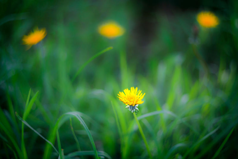 Guanguiltagua Quiet Moments Beauty In Nature Blooming Bokeh Close-up Day Ecuador Field Flores Flower Flower Head Fragility Freshness Grass Green Color Growth Nature No People Outdoors Petal Plant Small Yellow The Week On EyeEm EyeEmNewHere Summer Exploratorium