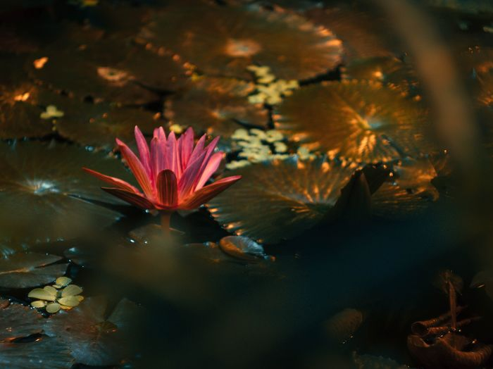 Close-up of lotus floating on water