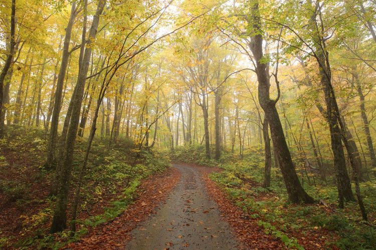 Autumn Forest Tree Nature Leaf WoodLand Single Lane Road Road The Way Forward Beauty In Nature Footpath Outdoors Landscape Morning Fog Tranquil Scene Tranquility No People Day