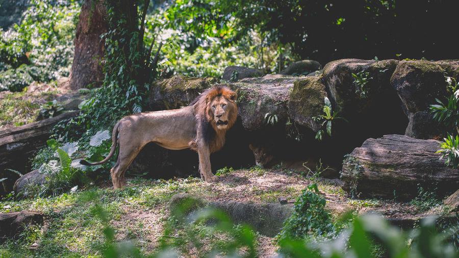 Skinny? Lion Open Concept Zoo Singapore Zoo Zoo Mammal