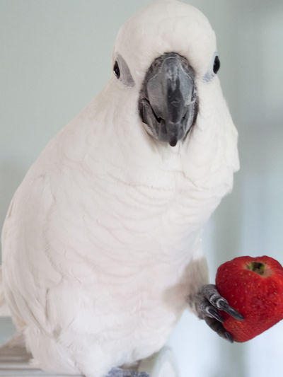 Clara the cockatoo Cockatoo Animal Themes Beak Bird Close-up Cockatoo Day Domestic Animals Exotic Pets Food Indoors  No People One Animal Parrot Perching Pets Strawberry Talons White Color