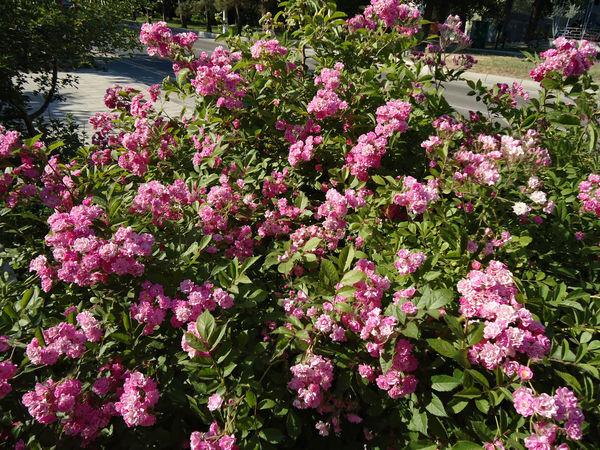 Pink rose bush. Bush Exuberant Flourishing Flowerets Flowering Flowers June Lila Lush Foliage Pink Purple Roses Summer